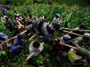 جنگلبانان و افراد محلی در حال حمل جسد گوریل کوهستانی هستند که در پارک ملی ویرونگای جمهوری دموکراتیک کنگو در سال ۲۰۰۷ کشته شد. عکس: برنت استیرتون