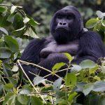 گوریل های رواندا مجله عکس نوریاتو